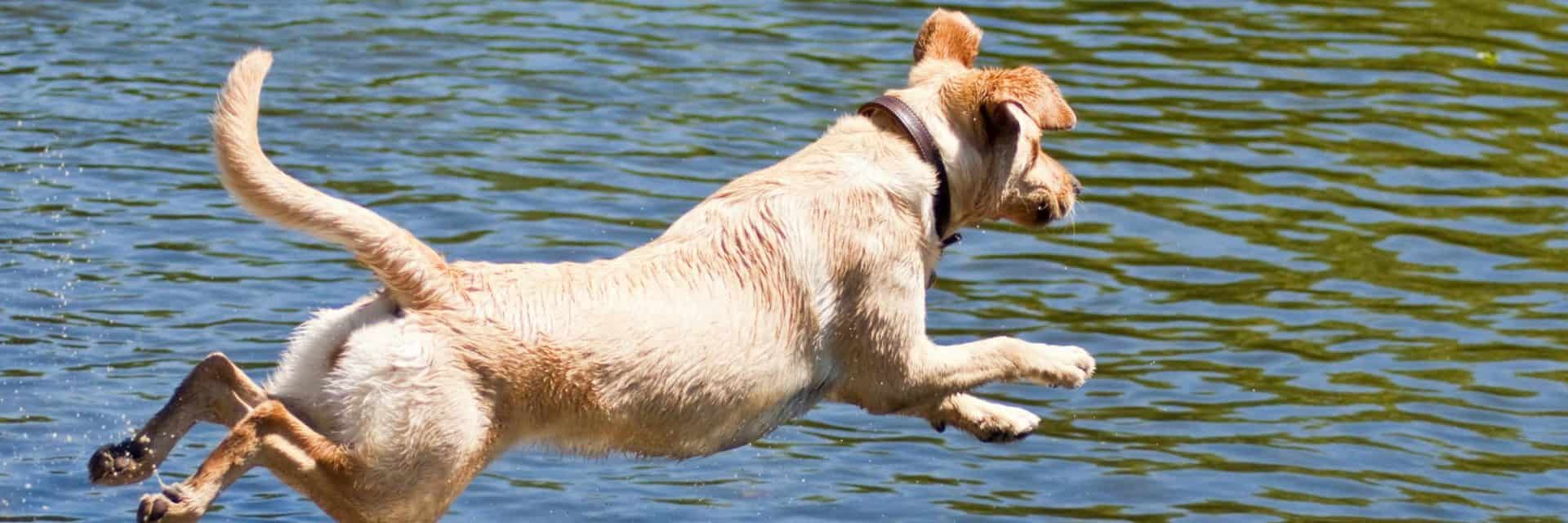 Dog Jumping into Lake
